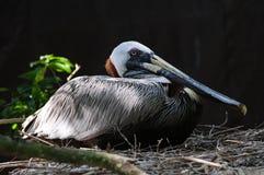 Peruvian Pelican Stock Images