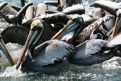 Peruvian pelican feeding in group royalty free stock photo