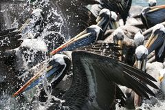 Peruvian pelican feeding in group stock images