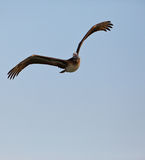 Peruvian Pelican in flight Stock Photos