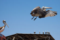 Peruvian Pelican in Flight Stock Image