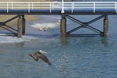 Peruvian Pelican in Flight - Valparaiso, Chile Stock Photo