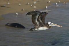 Peruvian Pelican in Flight - Valparaiso, Chile Stock Photography