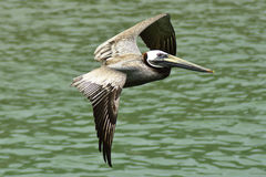 Peruvian Pelican Flying over the Pacific Ocean Stock Photo