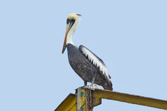 Peruvian Pelican (Pelecano thagus) Royalty Free Stock Images