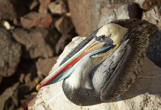 Peruvian Pelican Stock Photography