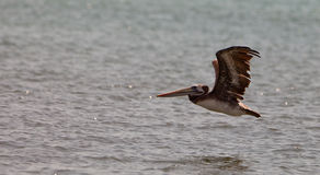 Peruvian Pelican skimming the sea Stock Photography