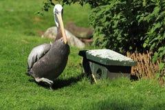 Peruvian pelican Royalty Free Stock Image