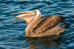 Peruvian pelican swallowing fish in the peruvian coast at Piura Royalty Free Stock Photography