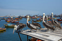 Peruvian Pelicans in Arica Royalty Free Stock Photo
