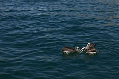 Peruvian Pelicans Royalty Free Stock Images