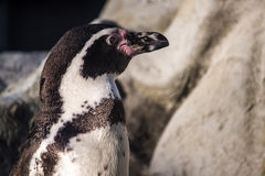 Peruvian Penguin Stock Photo
