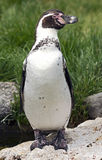 Peruvian penguin 5 Stock Photo