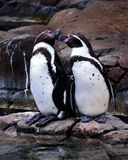 Peruvian Penguin Royalty Free Stock Images