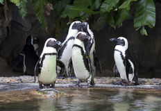 Peruvian penguins Royalty Free Stock Images