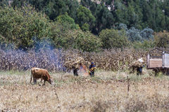 Peruvian people harvesting corn Stock Images