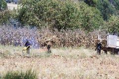 Peruvian people harvesting corn Royalty Free Stock Photo