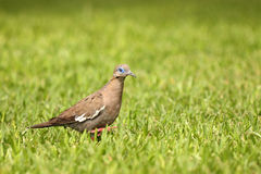 Peruvian pigeon Royalty Free Stock Photo