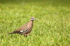 Peruvian pigeon royalty free stock photo