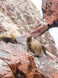 Peruvian Sea Lions Stock Image