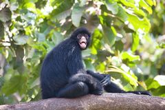 Peruvian spider monkey, Ateles chamek, sitting in a tree Royalty Free Stock Photo