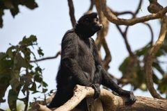 Peruvian spider monkey, Ateles chamek, sitting in a tree Royalty Free Stock Photography