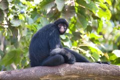Peruvian spider monkey, Ateles chamek, sitting in a tree Stock Photos