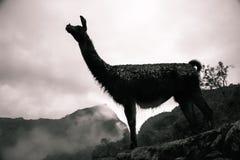 Peruvian symbol, the llama. stock photos