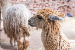 Peruvian  vicuna. Farm of llama,alpaca,Vicuna in Peru,South America. Andean animal. Stock Images