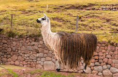 Peruvian  vicuna. Farm of llama,alpaca,Vicuna in Peru,South America. Andean animal Royalty Free Stock Photo