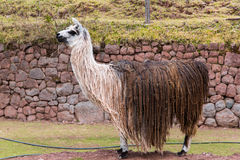 Peruvian  vicuna. Farm of llama,alpaca,Vicuna in Peru,South America. Andean animal Royalty Free Stock Images