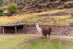 Peruvian  vicuna. Farm of llama,alpaca,Vicuna in Peru,South America. Andean animal. Stock Photos