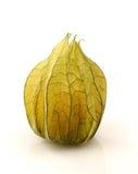 peruviana owocowa pęcherzyca Obrazy Royalty Free