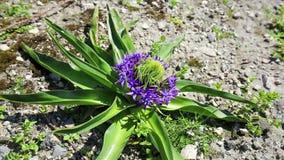 Peruviana Scilla - πορτογαλικό squill - άγριο λουλούδι φιλμ μικρού μήκους