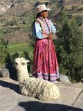 Peruviano, Arequipa Colca Perú, lama di raggiro di Peruana immagine stock