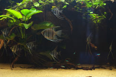 Peruvians angelfishes Obraz Stock