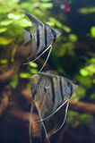 Peruvians angelfishes. Stock Photography