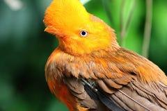 Peruvianus andin de rupicola de Rupicola d'oiseau de coq-de-le-roche photo stock