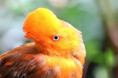 Peruvianus andin de rupicola de Rupicola d'oiseau de coq-de-le-roche photographie stock