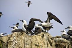 Peruwiańscy durnie, Islas Ballestas, Peru obraz stock