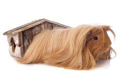 Peruwiański królik doświadczalny Zdjęcia Stock