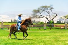 Peruwiański Paso koń, jeździec i Obrazy Stock
