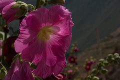 Peruwiański kwiat obraz stock