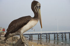 Peruwiański pelikan w Valparaiso, Chile Zdjęcia Royalty Free