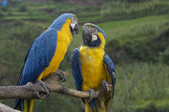 Peruwiańskie ary, Peru Zdjęcia Stock