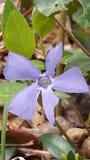 Fleur des bois. Pervenche mauve prise dans les bois un jour de printemps Royalty Free Stock Photography