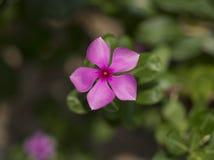Pervinca cor-de-rosa muito bonita de Madagáscar Imagens de Stock