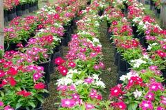 Pervinca ou flores de madagascar fotografia de stock