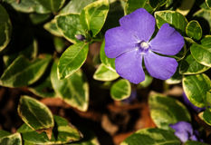 Pervinca - Vinca Minor Foto de Stock Royalty Free