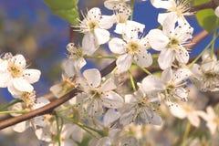 Perzik Blossum Stock Afbeeldingen